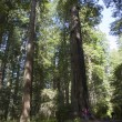 visiting the redwoods, california. — Stock Photo