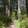 Redwood forest California. — Stock Photo #11236583