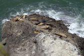 Sea lions asleep on rock, Oregon shore. — Stock Photo