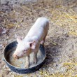 Piglet — Stock Photo #11052284