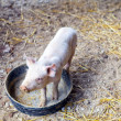 Stock Photo: Piglet