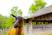 Nubijska koza — Zdjęcie stockowe