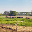 American Countryside (Cows) - Stockfoto