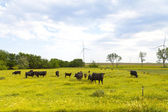 American Countryside (Cows) — Stock Photo