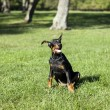Small Doberman - Stock Photo