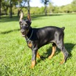 Small Doberman — Stock Photo #12348488