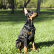 Small Doberman — Stock Photo #12348489