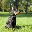 Small Doberman — Foto de stock #12348491