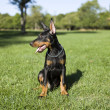Small Doberman — Stock Photo #12348492
