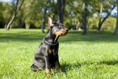 Piccolo doberman — Foto Stock