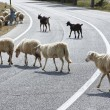 Sheep crossing a road - Stock Photo