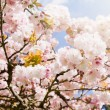 Beautiful summer blossom tree — Stock Photo