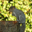 Grey Squirrel in Autumn - Stock Photo