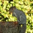 esquilo cinzento no outono — Foto Stock