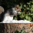 Grey Squirrel in Winter — Stock Photo