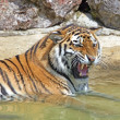 Bengal Tiger — Stock Photo #11764706