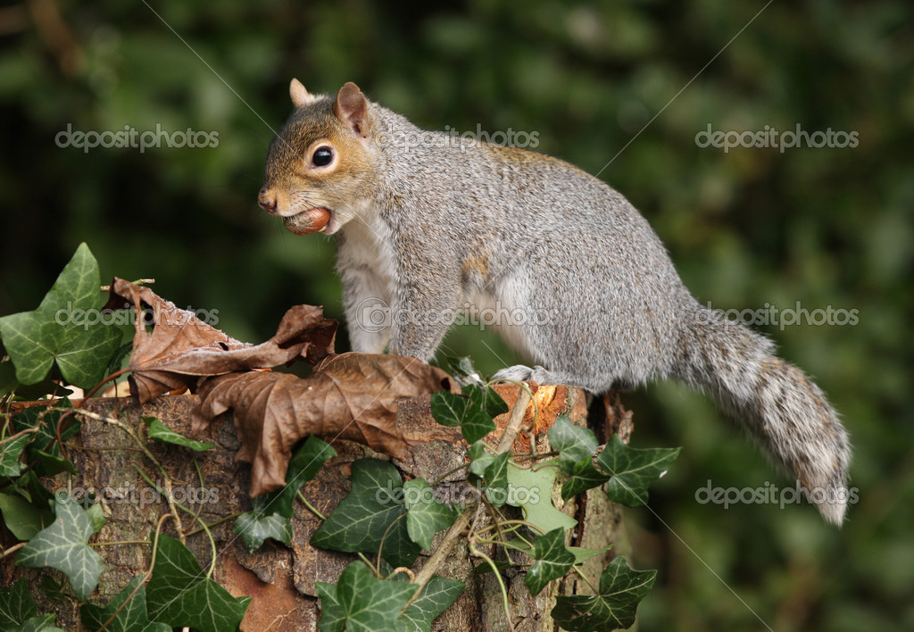 Grey Squirrel with an unusual tail  Stock Photo #11764302