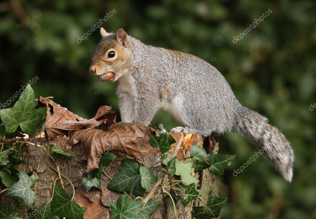 Grey Squirrel with an unusual tail — Photo #11764302
