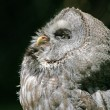 Northern Hawk Owl — Stock Photo #11797614