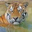 Bengal Tiger — Stock Photo #11797638