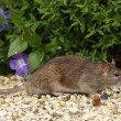 Brown Rat — Stock Photo