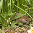 Brown Rat — Stock Photo #11797667