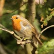Male Robin — Stock Photo