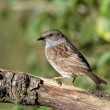 Dunnock - Stock Photo