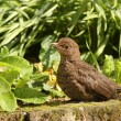 Blackbird - Stock Photo