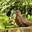 Blackbird — Stock Photo