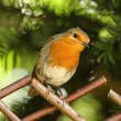 Male Robin - Stock Photo