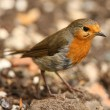Robin feeding - Stock Photo