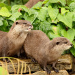 European Otters - Stock Photo