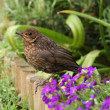 Young Blackbird - Stock Photo