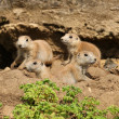 Black-Tailed Prarie Dogs — Stock Photo