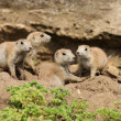 Stock Photo: Black-Tailed Prarie Dogs