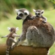 图库照片: Ring-Tailed Lemur