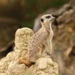 Meerkat — Stock Photo #12248484