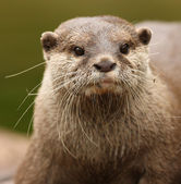 Oriental Short-Clawed Otter — Stock Photo
