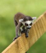 Baby Ring-Tailed Lemur — Stock Photo