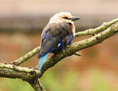 Blue Winged Kookaburra — Foto de Stock
