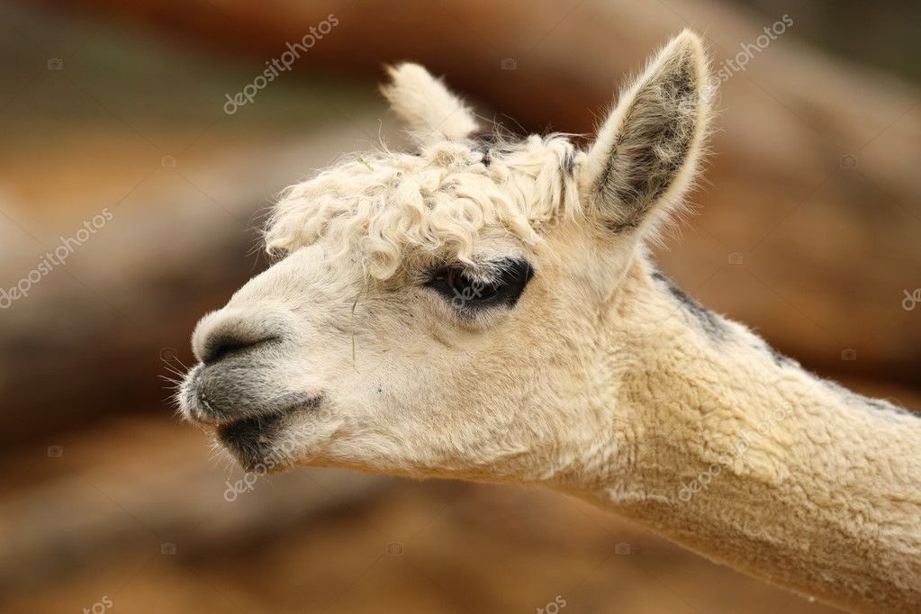 Portrait of an Alpaca  Stock Photo #12248043