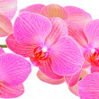 Royalty-Free Stock Photo: Pink orchid flower