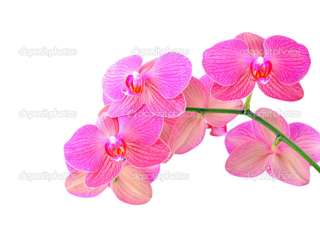 Pink orchid flower, isolated on white background — Stock Photo #10811600