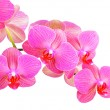 Pink orchid flower — Stock Photo #10918331