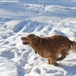 The beautiful golden retriever runs on park in winter — Stock Photo