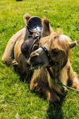 The camel lies on grass — Stock Photo