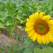 sun flower — Stock Photo #11098360