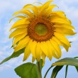 sun flower — Stock Photo #11098429