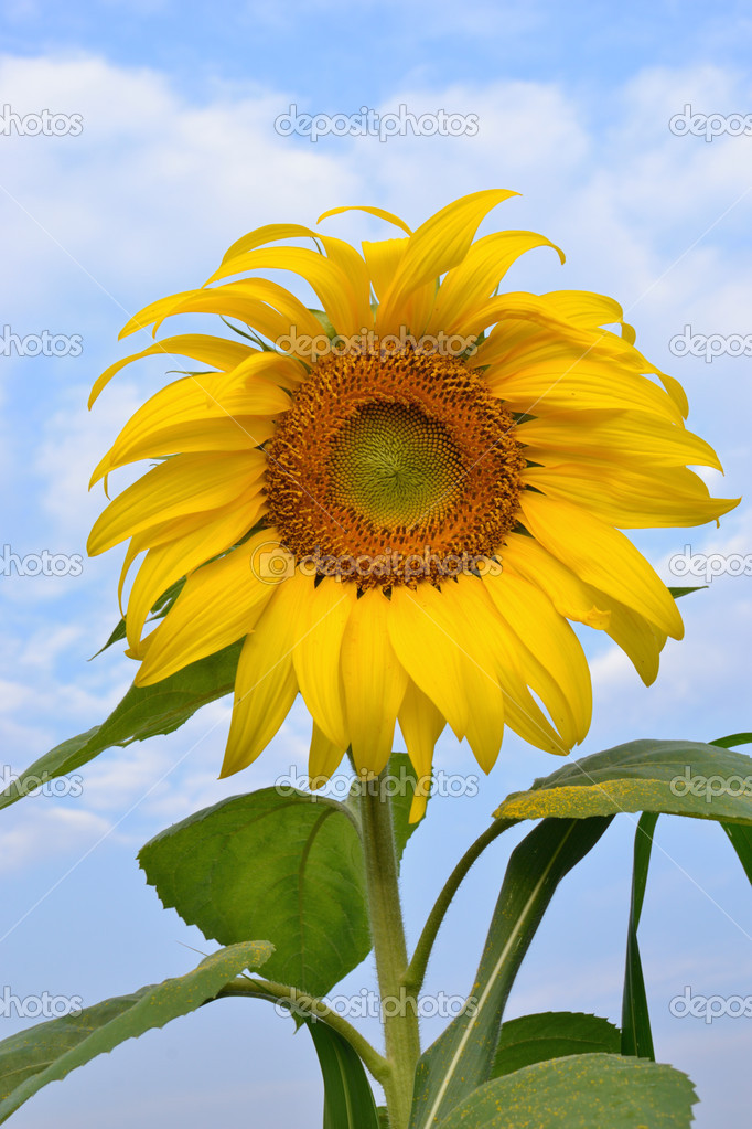 Landscape of sun flower garden. — Stock Photo #11098399